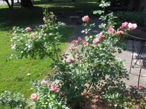 The johnson Rose